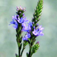 Verbena Officinalis_05