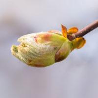 Chestnut-Bud