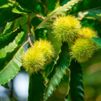 Sweet-Chestnut